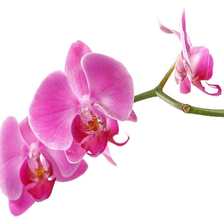 Pretty Moth Orchid 3-Piece Crystal Film Art Wall Print