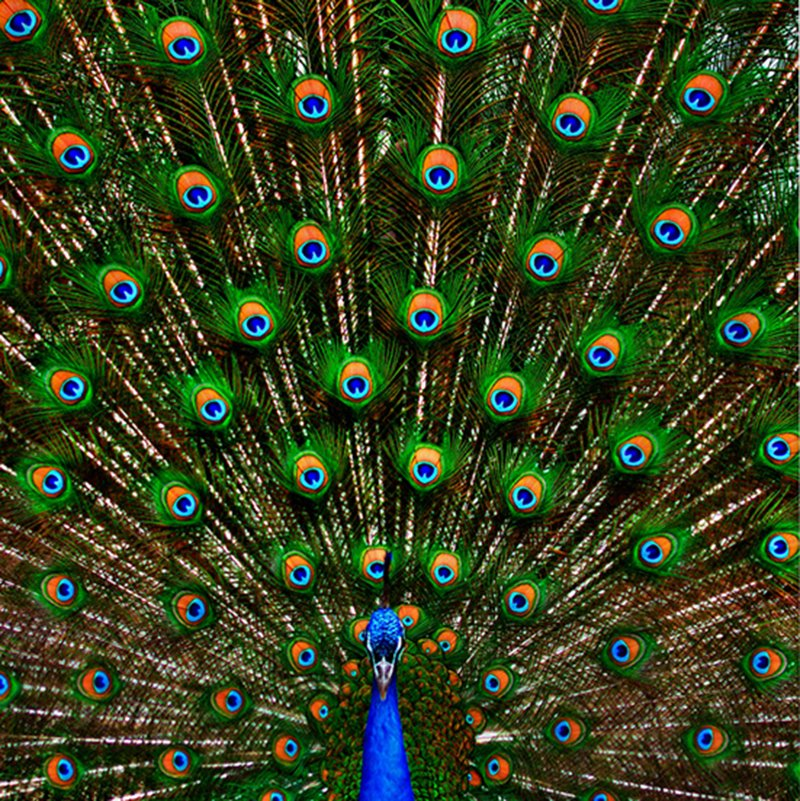 3D Peacock in His Pride Printed Polyester Bathroom Shower Curtain
